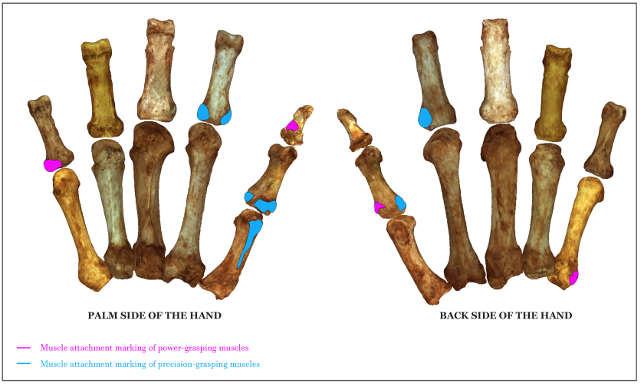Muskelansatzmarken für Kraftgriffe (pink) und Präzisionsgriffe (blau). Foto credit: Senckenberg