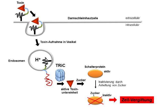 Das Schaubild zeigt, wie das Toxin des Bakteriums Clostridium difficile mithilfe des Proteins TRiC in die Darmzelle eindringt. Bild Quelle: Klaus Aktories