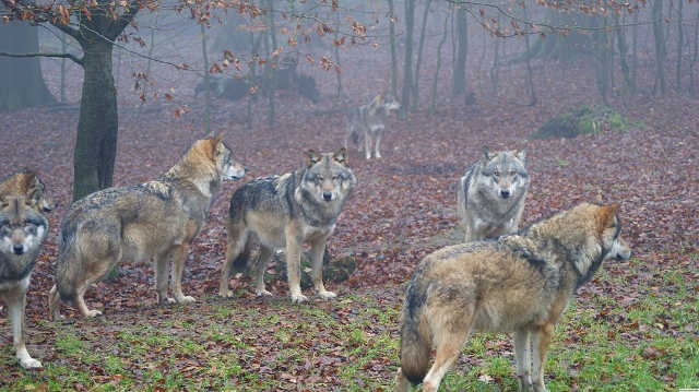 Wolves. Image credit: Meles1 (Source: Wikipedia)