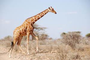 Eine Netzgiraffe (G. reticulata) im Samburu National Reserve in Kenia. Image copyright: Julian Fennessy