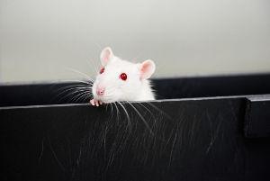Mit Hilfe ihrer Schnurrhaare ertasten Ratten aktiv ihre Umgebung. Image credit: © Universität Tübingen / Berthold Steinhilber
