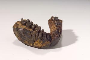 Unterkiefer eines 2,4 Millionen Jahre altenHomo rudolfensis, Fundstätte Uraha nahe des Malawisees, Image copyright: Hessisches Landesmuseum