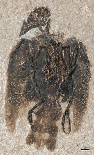 Das Fossil von Eofringillirostrum boudreauxi, der neuen Art aus Nordamerika. Foto credit: Lance Grande