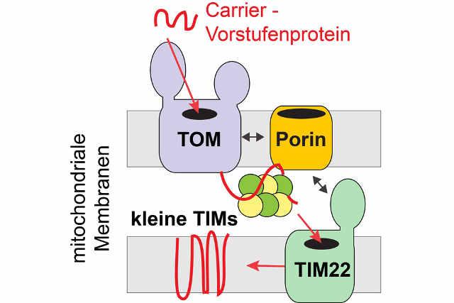Porin/VDAC stimuliert als Kopplungsfaktor den Import von Carrierproteinen in die Innenmembran der Mitochondrien. Foto credit: Arbeitsgruppen Becker und Pfanner